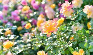 Jaro zatím neodstartovalo, a tak je ta správní chvíle postarat se o růže