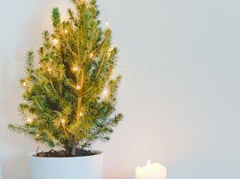 Můžete si vypěstovat svůj vlastní vánoční stromeček v květináči