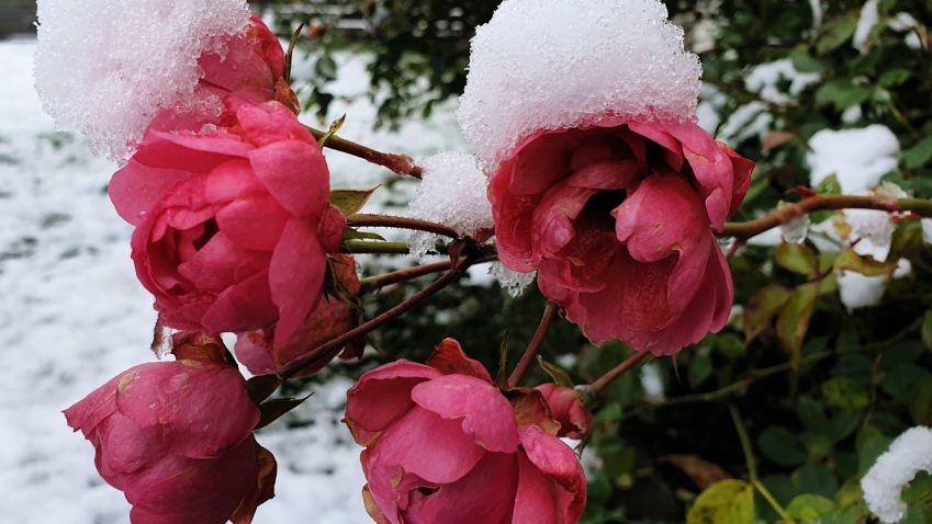Připravte růže na první mrazíky