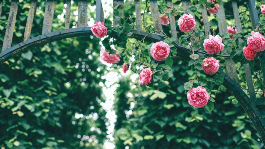 Růže jsou královnami květin, jejich krása ale není zadarmo, je potřeba o ně dostatečně pečovat