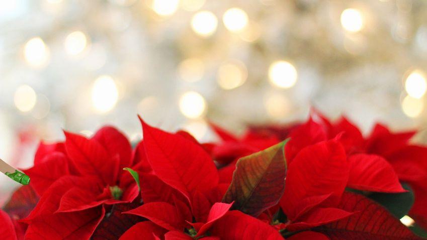 Vánoční květiny oživí váš interiér i slavnostní vánoční tabuli